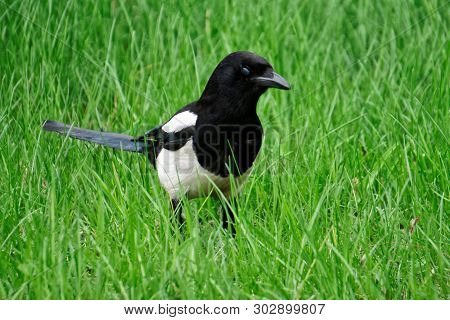 Magpie walks in fresh spring green grass. Ornithology. Daylight. poster