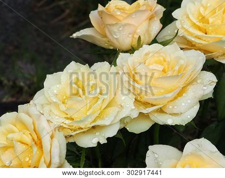 Pale Yellow Roses Close Up With Water Drops