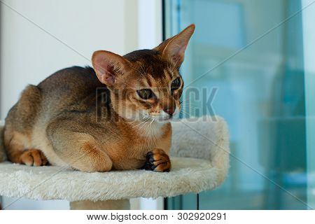 The Abyssinian And Red Cat , A Portrait