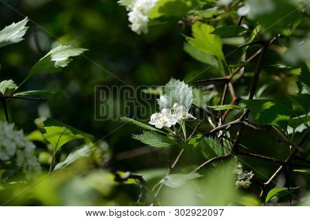 Blooming Hawthorn In The Forest On A Sunny Day Close Up