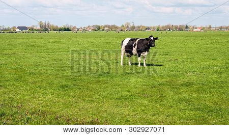 Black And White Cow Stands In A Dutch Pasture And Looks At The Photographer From A Distance. The Pho