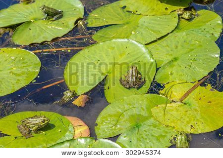 Many Frogs On Water Lilies. Frogs Sitting On A Water Lilys Leaf In Sunny Day