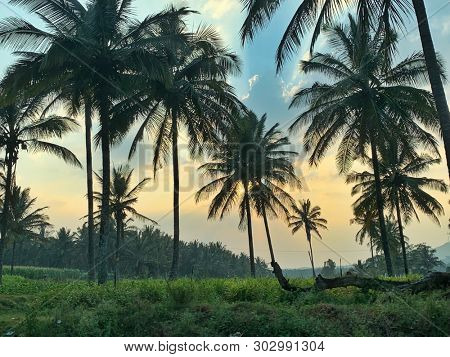 Coconut trees at sunset in Karnataka in India