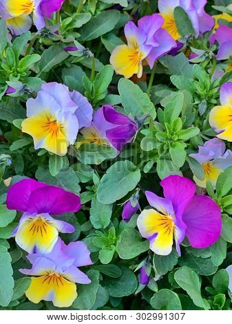 Purple and yellow pant flowers