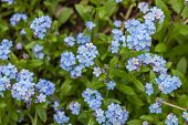 Blue forget-me-nots, Myosotis sylvatica, a grass of a Scorpion, flower on the spring meadow poster