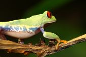 Image of a red eyed tree frog-agalychnis callidryas poster