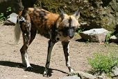 African Wild Dog at its natural habitat poster