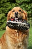 Portrait of a Golden retriever with a boot in teeth. Outdoor shot poster