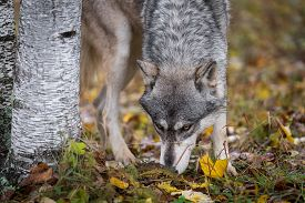 Grey Wolf (canis Lupus) Sniffs Ground Next To Tree Autumn - Captive Animal