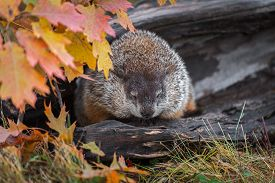 Woodchuck (marmota Monax) Eyes Lowered In Log Autumn - Captive Animal