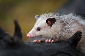 Opossum Joey (didelphimorphia) Close Up On Log Autumn - Captive Animal