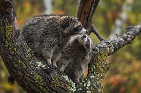 Raccoon (procyon Lotor) Looks Up At Fellow In Tree Autumn - Captive Animals