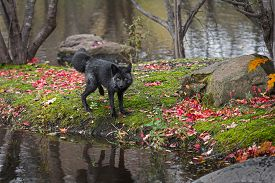 Silver Fox (vulpes Vulpes) Looks Out Back Leg Lifted Autumn - Captive Animal