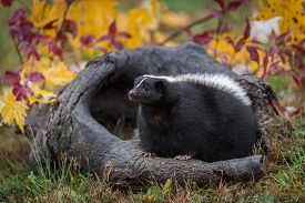 Striped Skunk (mephitis Mephitis) Sits On Log Autumn - Captive Animal
