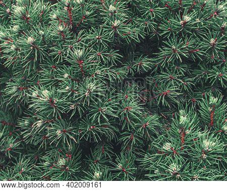 Juniper Tree Branch Texture Green Needle Background. Juniperus Communis Bush Is Evergreen Coniferous