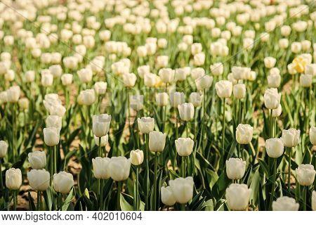 Gardening Concept. Grow Flowers Garden. Spring Holidays. Celebrate Warmth. Spring Backdrop. Tulips F