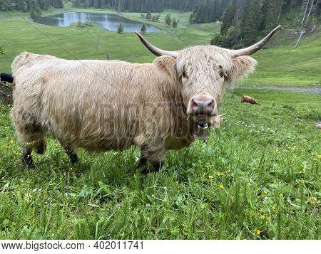 The Highland Cow (hielan Coo), Scottish Breed Das Schottische Hochlandrind, Highland Cattle Or Kyloe