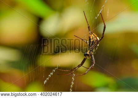 Signature Spider On The Web. This Spider Also Known As The Writing Spider And The Garden Spider. Use