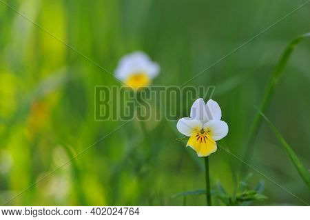 Small Forest Pansy Flower. Macro Yellow-white Flower Viola Arvensis. Field Pansies Bloom In Spring.