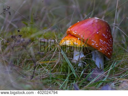 Two Red Fly Agaric In The Grass. Red Poisonous Macro Of The Amanita Mushroom Muscaria. Close-up, In