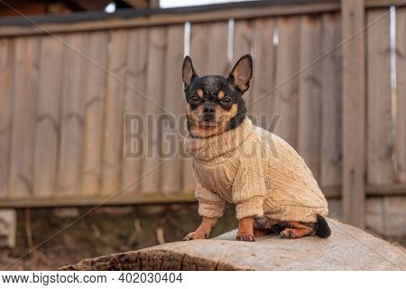 Dog In Clothes For A Walk. Adorable Chihuahua Dog Outdoors In A Sweater