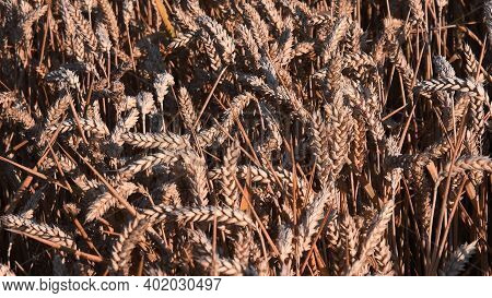 Ripe Ears Of Wheat Tangled By Wind On Field With Sunset Light. Agricultural Golden Wheat Texture. Wh