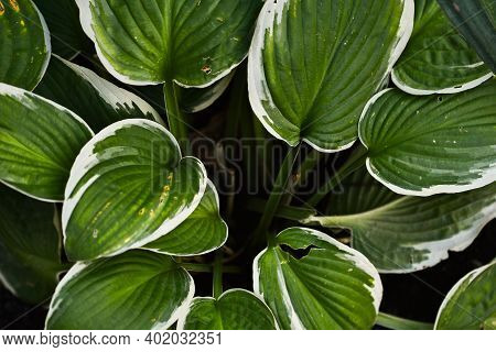 Hosta Patriot. Close Up Of The Leaves Of The Hosta Patriot. Hosta Patriot Plant In The Garden. Close