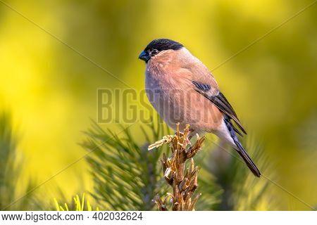 Eurasian Bullfinch (pyrrhula Pyrrhula) Bird Perched On Branch. Female Songbird In  Natural Habitat.