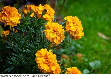 Marigold Flower Blossom In Garden. Head Of Orange And Yellow Marigold Plant