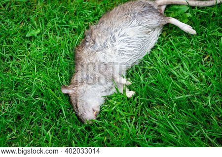 Dead Rat Lying On Green Grass. Poisoned Rat In Outdoor Garden