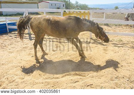 The Horse, After Bathing, Is Rolling In The Sand And Shaking Itself Off