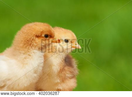 Small Chicken Friendship. Twin Little Chicken On Green Natural Background. Family Newborn Chicken Co