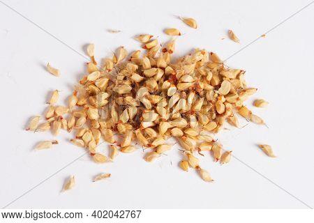 Studio Shot Of Rosehip Seeds On White Background.