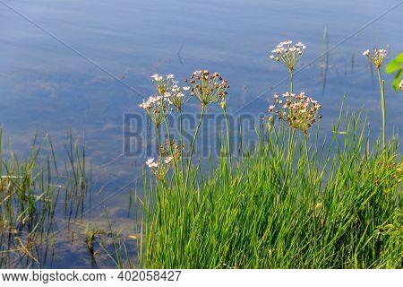 Flowering Rush Or Grass Rush (butomus Umbellatus) On A River Shore