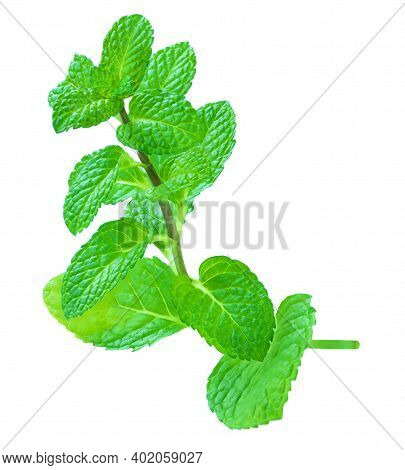 Branch Mint Leaves Isolated On White Background. Fresh Spearmint  Leaf Closeup.