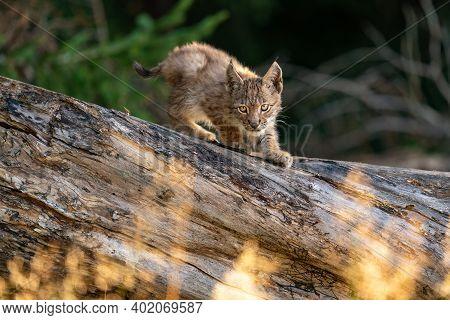 Lynx Cub On The Fallen Tree Trunk. Focused Small Baby Animal. Lynx Lynx.