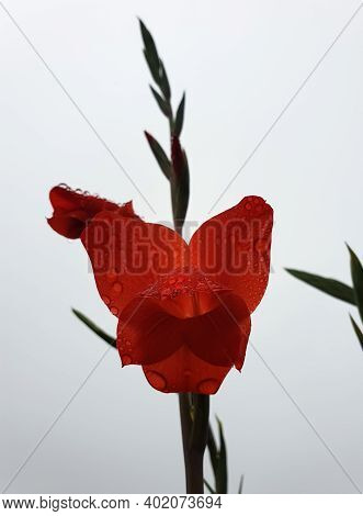 Closeup Shot Of Red Gladiolus Flower With Water Drops Isolated, Red Flower With White Background