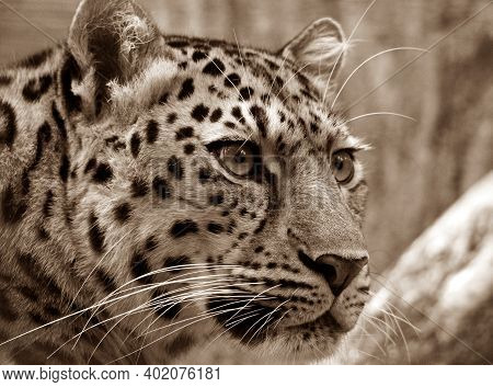 Leopard In The Jungle Looking To Hunt : The Jungle Life