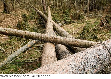 The Trees Are Lying On The Ground In The Forest. Symbol For Lumber Industry Or Care For The Forest W