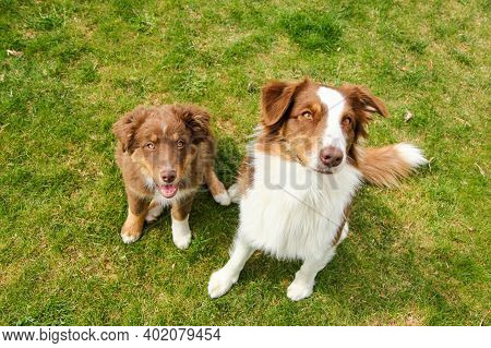 Two Australian Shepherds Are Sitting On The Grass. One Is Adult, One Is Puppy. They Look Obedient, H