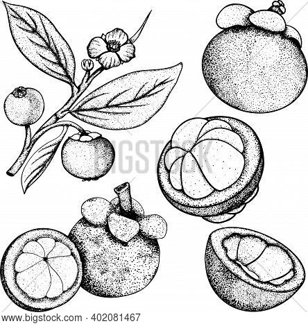 Set Of Hand Drawn Mangosteen Tropical Fruit. Fresh Organic Food. Vector Illustration With Sketch.