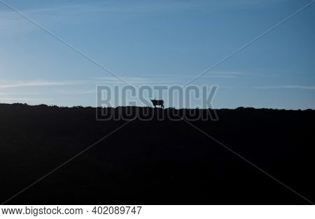 Isolated Cachena Cattle Cow Bull Barrosa Bos Taurus Animal Breed Long Horn Race Flat Grass Farm Nort