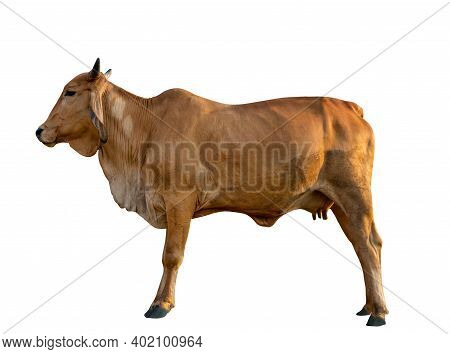 Isolated Red Cow Standing On White Background, Side Body Of Cow.