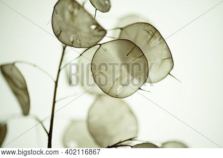 Lunaria annua, called annual honesty in English, is a species of flowering plant native to the Balkans and south west Asia, and naturalized throughout the temperate world. Shallow depth of field.