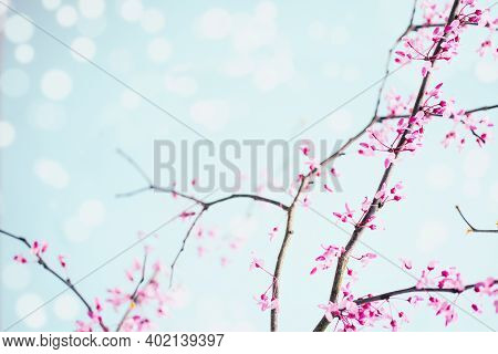 Abstract Of Peaceful Spring Flower Blossoms Of A Eastern Redbud, Or The Judas Tree, Tree On A Bright