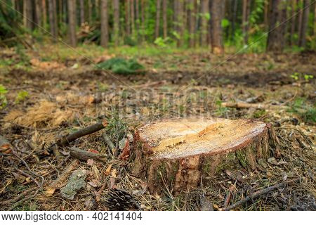 A Stump Sticking Out Of The Ground In The Forest, After A Recent Felling. A Stump Instead Of A Tree