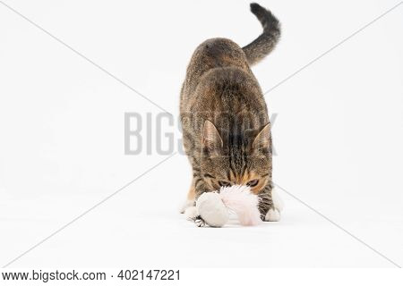 The Multiracial Female Cat Checks Her Favorite Toy By Sniffing It Thoroughly. The Cat Has Protruding