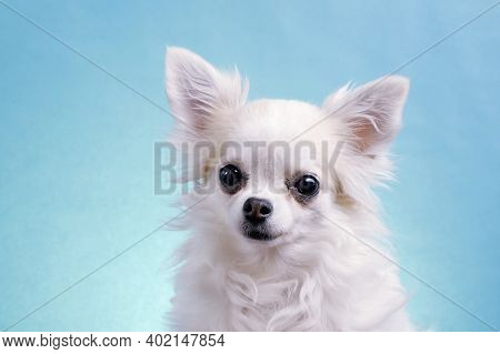 Cute Wide Eyed Chihuahua On An Isolated Blue Background In Studio. Funny Chihuahua Tilts Her Head To