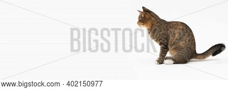 The Cat Sits On A White Background, Sideways Facing The Camera And Looks Straight Ahead. The Cat Has
