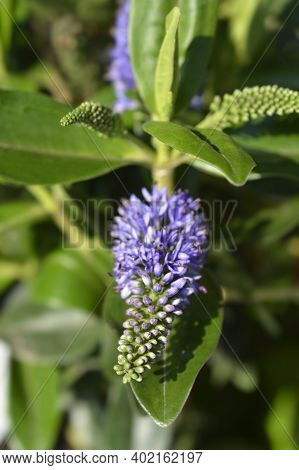 Shrubby Veronica Addenda Grethe Flower - Latin Name - Hebe Addenda Grethe